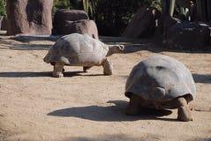 Черепаха pagos ¡ GalÃÂ Стоковые Фотографии RF