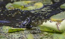 Черепаха River Cooter слайдера пруда, охраняемая природная территория соотечественника болота Okefenokee Стоковые Фотографии RF