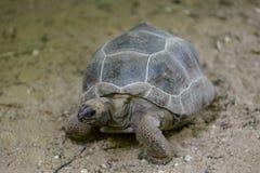 Черепаха ` s Hermann черепахи Стоковые Изображения