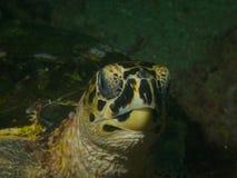 черепаха sharm акулы hawksbill s el залива принятая шейхом Стоковое Изображение RF