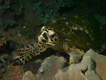 черепаха sharm акулы hawksbill s el залива принятая шейхом Стоковые Фотографии RF