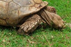Черепаха, Snacking стоковая фотография