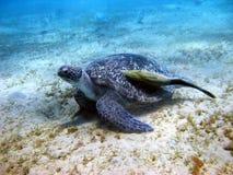 черепаха suckerfish моря Стоковое Фото