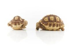 Черепаха Sulcata Стоковое фото RF