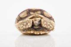 Черепаха Sulcata Стоковое Изображение