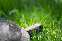 черепаха thighed шпорой Старая черепаха на саде греческая черепаха Стоковые Фотографии RF