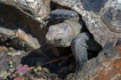 черепаха thighed шпорой Старая черепаха на саде греческая черепаха Стоковое фото RF
