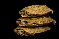черепахи блинчика Стоковое Фото
