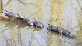 Черепахи выровнялись вверх на журнале, грея на солнце весной Стоковое Изображение RF