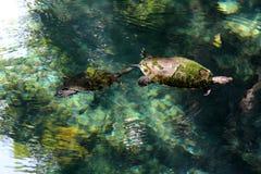 Черепахи в воде стоковые фото