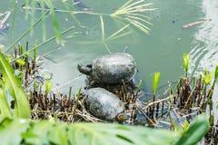 Черепахи в их среде обитания стоковое изображение rf