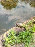 Черепахи в небольшом озере центрального парка стоковое фото rf