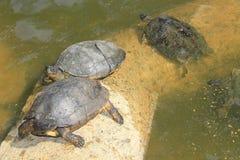 Черепахи в озере зоопарка Стоковое Изображение