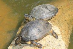 2 черепахи в озере зоопарка Стоковые Изображения