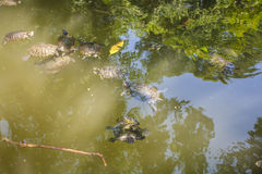 Черепахи в озере стоковая фотография rf