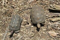 Черепахи в поле пустыни Стоковое Фото