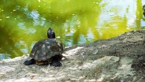 Черепахи в пруде стоковые изображения rf