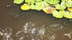 Черепахи в пруде Стоковое Изображение