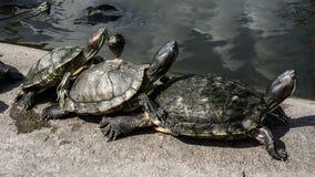 Черепахи в пруде стоковая фотография