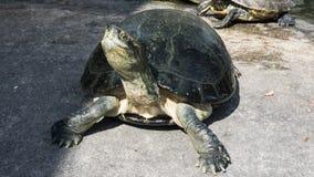 Черепахи в пруде стоковое изображение rf