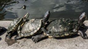 Черепахи в пруде стоковая фотография rf
