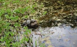 Черепахи в пруде стоковое фото rf