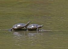 2 черепахи в пруде стоковое фото