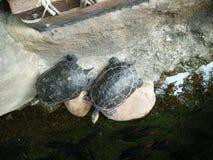 Черепахи в пруде Стоковые Изображения