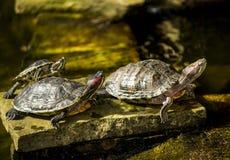 Черепахи в солнце Стоковые Изображения RF