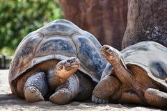 2 черепахи Галапагос имея переговор стоковые фото