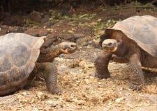 Черепахи Галапагос гигантские Стоковое Изображение RF