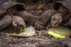 2 черепахи Галапагос гигантских жуя листья кактуса Стоковое Фото