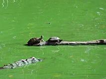 Черепахи грея на солнце в Central Park i Стоковые Фото