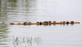 Черепахи грея на солнце на журнале Стоковые Изображения