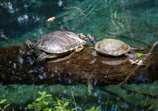 Черепахи грея на солнце на журнале Стоковое фото RF