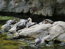 Черепахи грея на солнце на утесах Стоковое фото RF