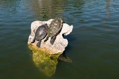 Черепахи грея на солнце Стоковые Изображения