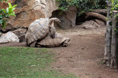 Черепахи делая влюбленность Стоковая Фотография