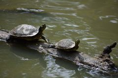 черепахи 2 журнала Стоковая Фотография