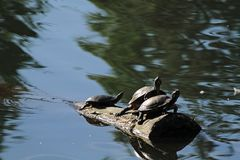 черепахи журнала 3 стоковое фото rf