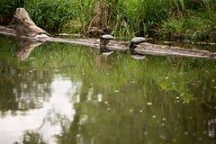черепахи 2 журнала стоковые фотографии rf