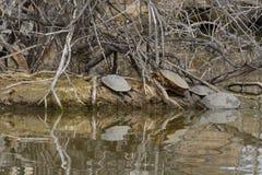 Черепахи загорая на острове озера стоковые изображения rf