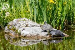 Черепахи загорая на утесе стоковые изображения rf