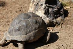 Черепахи идут около их дело, Таиланд стоковая фотография