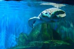 Черепахи кочуют свободно Стоковое Фото