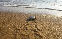 Черепахи младенца Стоковые Изображения