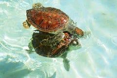 Черепахи младенца стоковые фотографии rf