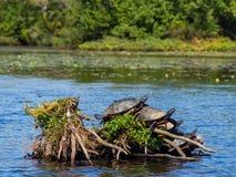 Черепахи на ветвях грея на солнце на озере Стоковые Изображения