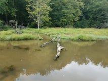 Черепахи на воде имени пользователя в области заболоченного места или болота стоковые изображения rf