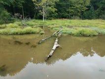 Черепахи на воде имени пользователя в области заболоченного места или болота стоковое фото